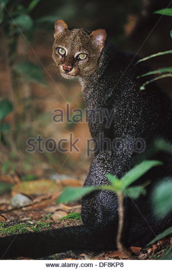 Jaguarundi (Herpailurus yaguaroundi). Ecuador - Stock Image