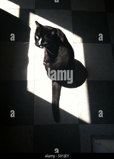 Tuxedo cat in sunlight - Stock Image