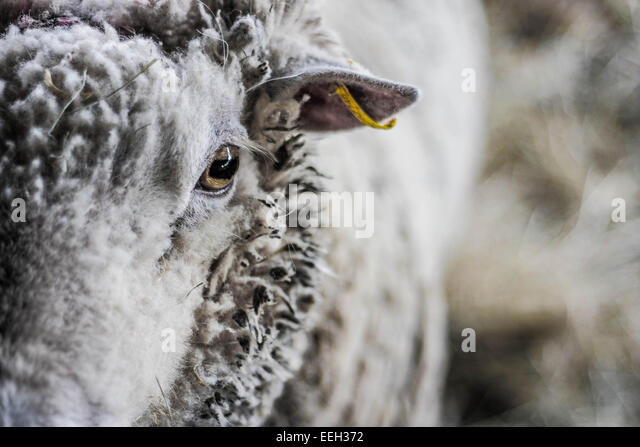 Ram portrait - Stock-Bilder
