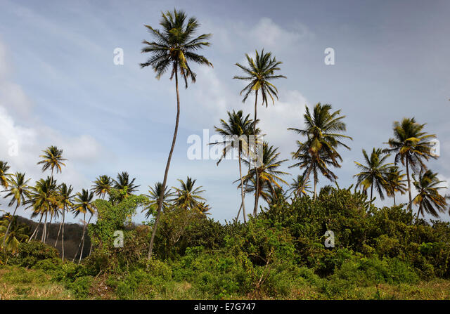 Coconut palm trees (Cocos nucifera), Little Tobago, Trinidad and Tobago - Stock Image