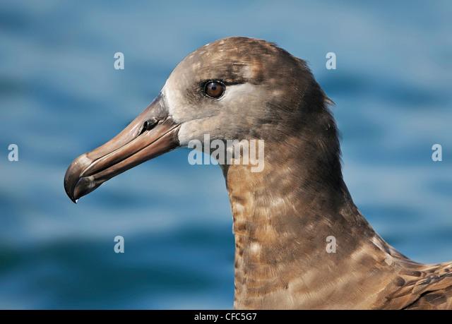 Black-footed Albatross on pelagic trip off Westport WA - Stock Image