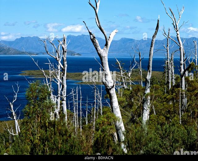 Dead trees, Lake Pedder Reservoir, Tasmania, Australia - Stock-Bilder