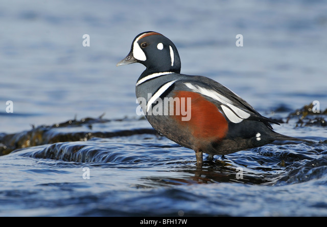 Male Harlequin Duck (Histrionicus histrionicus) - Stock Image
