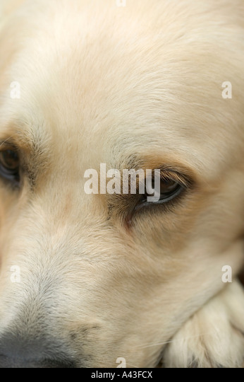 Close crop of a golden retriever who is looking very sorry for himself - Stock Image