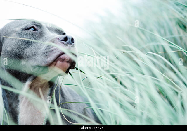 Portrait Blue Pitbull head above sea grass looking off camera right - Stock Image