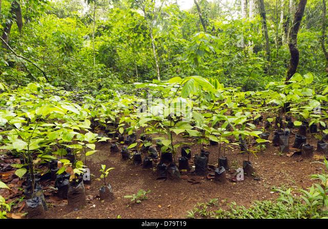 leaves and seeds of mahogany tree swietenia Some people say seed of mahogany tree has medicinal values true mahogany, small leaf mahogany american mahogany swietenia macrophylla is.