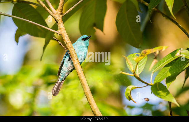 Small Bird, Verditer Flycatcher perched on a tree branch with copy space - Stock Image