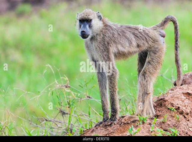 Baboon monkey in African bush. Safari in Tsavo West, Kenya - Stock Image