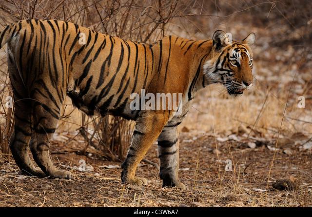 Tiger in Ranthambore tiger reserve - Stock-Bilder