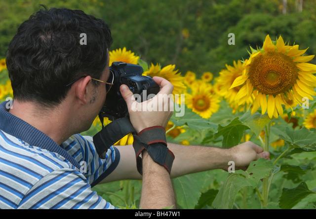 photographer in colorful sunflower fields near Saraburi Thailand - Stock Image