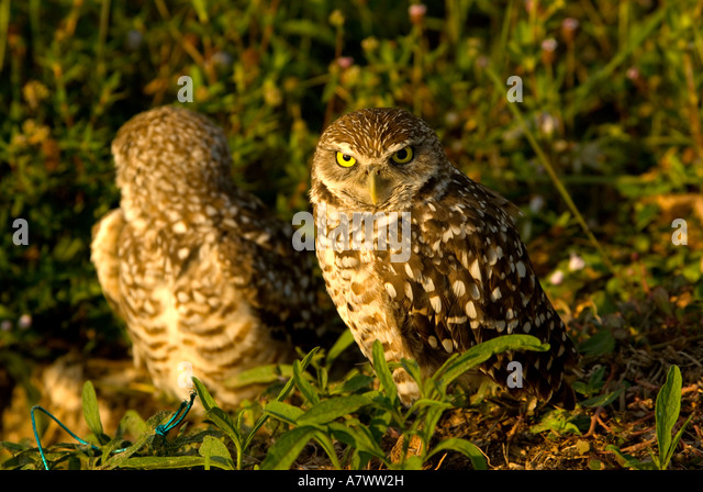 Two 2 burrowing owls Athene cunicularia portrait closeup - Stock Image