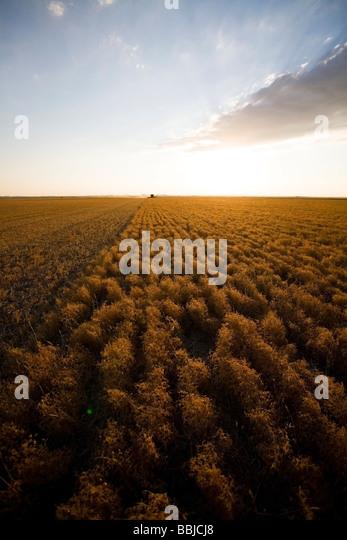 Combining lentils at sunset, Saskatchewan - Stock Image