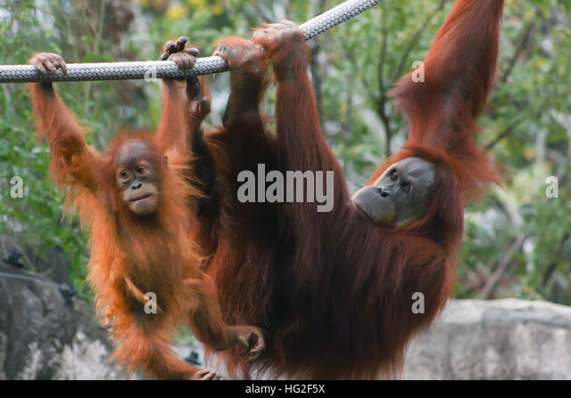Mother and baby orangutan hanging from a rope - Stock-Bilder