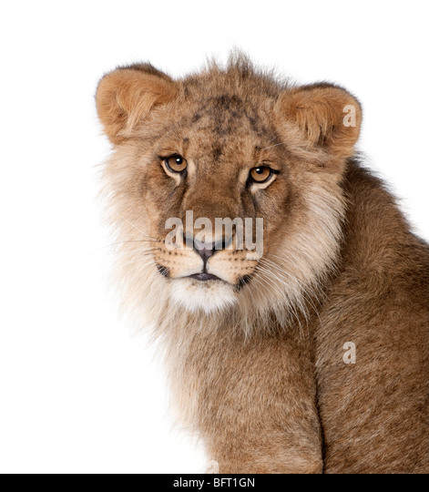 Lion, Panthera leo, 9 months old, in front of a white background, studio shot - Stock Image