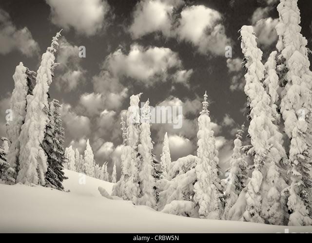 Heavy snow on trees. Mt. Rainier National Park, Washington - Stock Image
