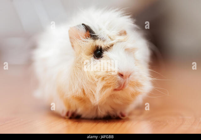 young long haired peruvian domestic guinea pig portrait - Stock Image