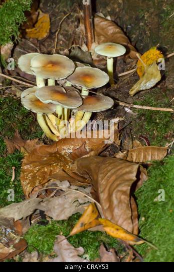 Poisonous sulphur tuft mushrooms push through brown dead leaves in woodland - Stock Image