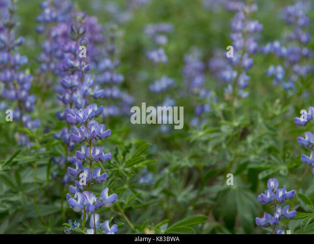 Focus on Purple Lupine on Left with copy space to right - Stock Image