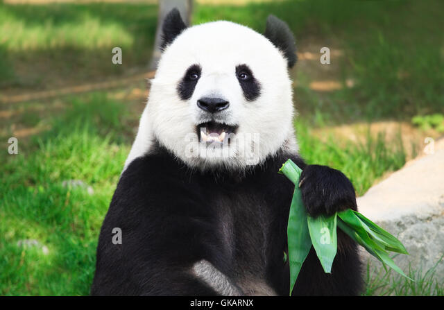 animal bear black - Stock Image