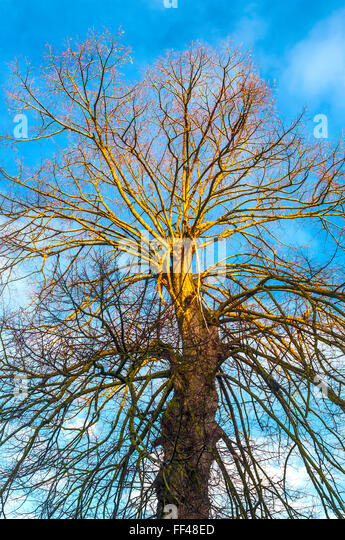 Bare tree branches against blue sky - France. - Stock Image