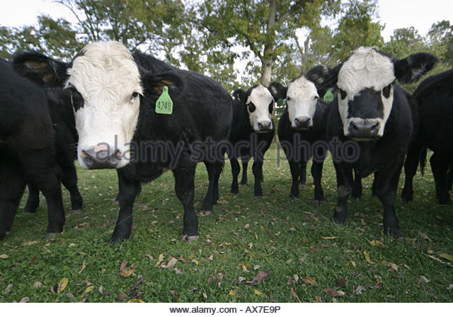 West Virginia Lewisburg steers - Stock Image
