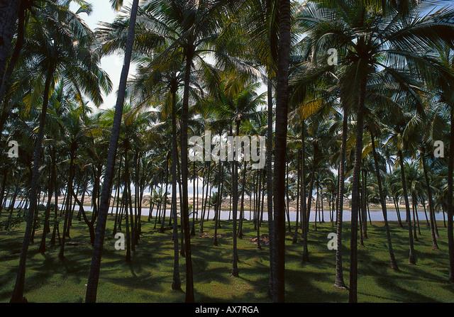 Palmenwald, Arambol Beach, Goa, Indien - Stock-Bilder