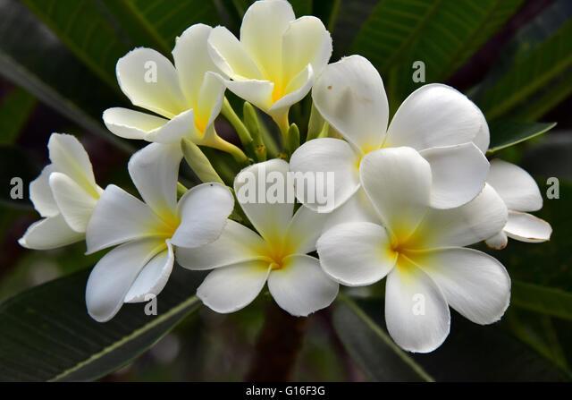 Frangipani flowers in Singapore - Stock Image