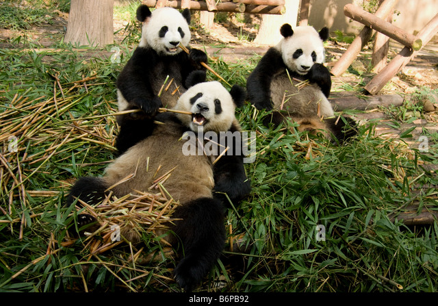 Three Pandas inside Chengdu' s research center in China - Stock Image