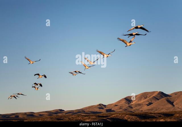 Sandhill Cranes (Grus canadensis) flying in formation, Bosque del Apache National Wildlife Refuge, near Socorro, - Stock-Bilder