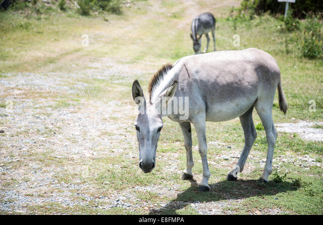 United States Virgin Islands, West Indies, St. John Island A Wild Donkey On St John Island - Stock Image