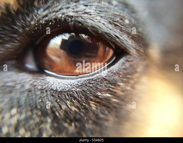 Macro of a brown eyed dog - Stock Image