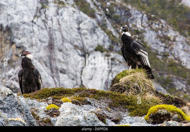 Adult Andean condors (Vulture gryphus), Wildlife Conservation Society Preserve of Karukinka, Strait of Magellan, - Stock-Bilder