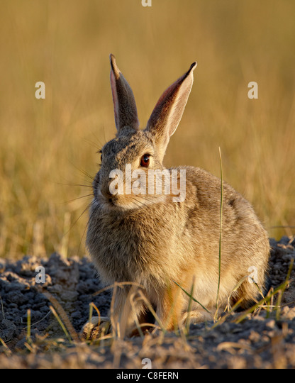 Desert cottontail (Sylvilagus auduboni, Wind Cave National Park, South Dakota, United States of America - Stock Image