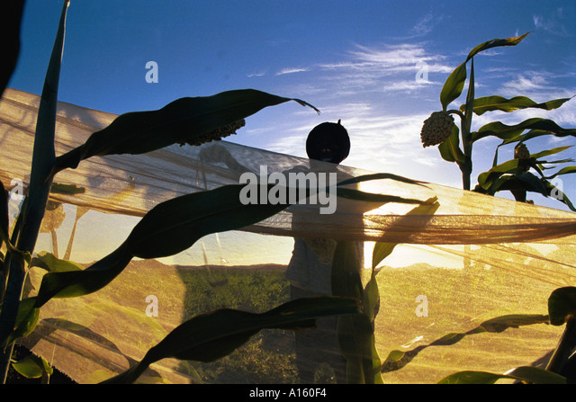 Even in the pre-dawn light cries of the farmers in the village of Bounessa in the Affole region of Mauritania ring - Stock Image