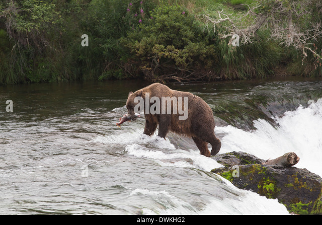Grizzly bear (Ursus Arctos), Brooks Falls, Katmai National Park, Alaska, United States of America, North America - Stock Image