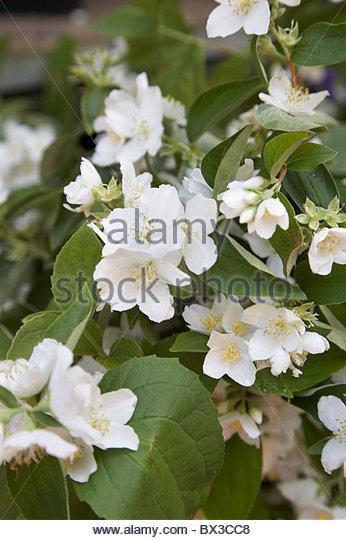 white flower blossoms - Stock Image