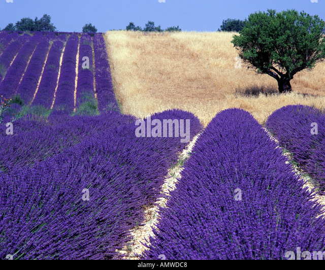 FR - ALPES-DE-HAUTE-PROVENCE: Lavender Field and tree on Plateau de Valensole near Puimoisson - Stock Image