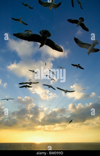 Seagulls flying over the Pacific Ocean sunset - Stock Image