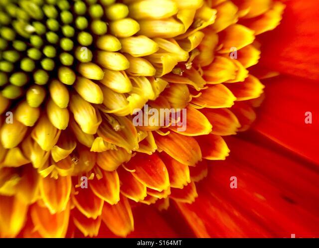 Close up of an orange Gerber Daisy - Stock-Bilder