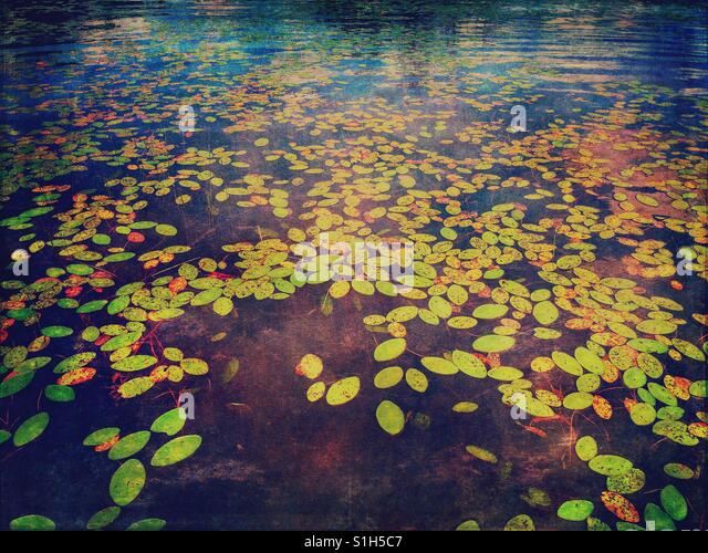 Lily Pads in the Water - Stock Image