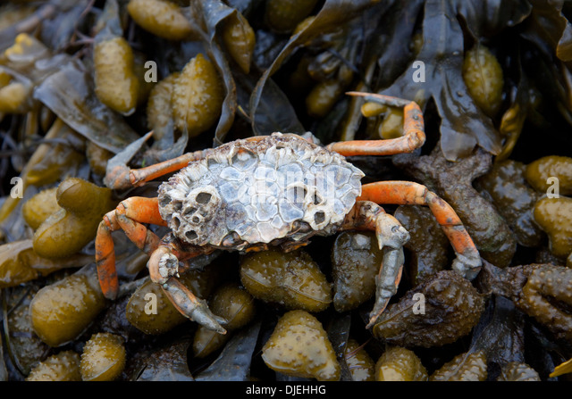 a report on the green crab invasion 22 economic and ecologic impacts of the green crab invasion in newfoundland   12 221  in this paper, invasive species will be referred to by using.