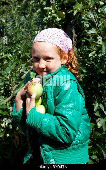 Young girl picks apples - Stock Image
