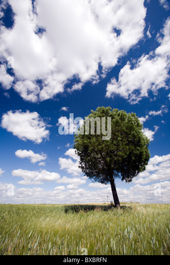 A tree in a wheat field - Stock Image