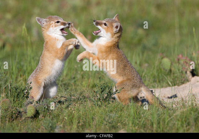 Swift fox (Vulpes velox), kits playing at den, near Pawnee National Grassland, Colorado. - Stock Image