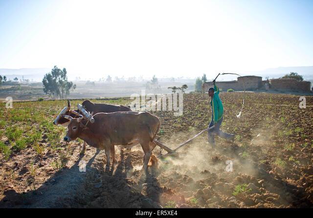 Farmer plowing a field, near Hawzien, Gheralta, Tigray Region, Ethiopia - Stock Image