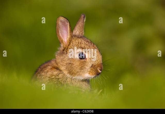 RABBIT Oryctolagus cuniculusIn the last rays of evening light a young rabbit sits alert near its warrenNorfolk, - Stock-Bilder