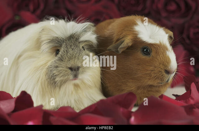 Guinea pigs breed Golden American Crested and Coronet cavy in the petals of red roses - Stock Image