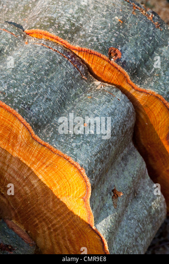 cut trees trunks left in an english woodland - Stock Image