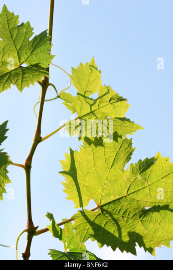 grapes leaves over blue sky - Stock Image
