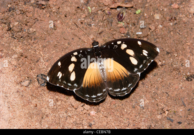 Forest glade nymph butterfly (Aterica galene : Nymphalidae), female puddling in rainforest, Ghana. - Stock Image